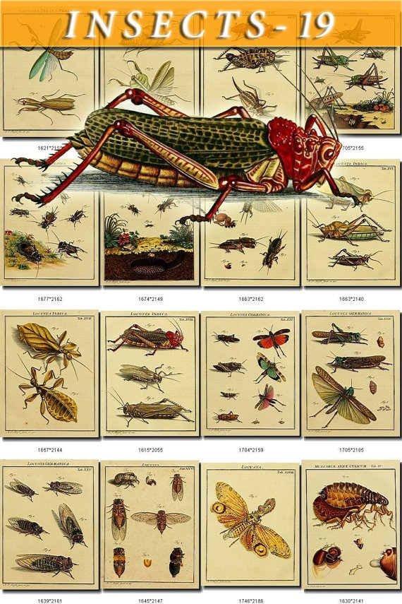 INSECTS-19 185 vintage print