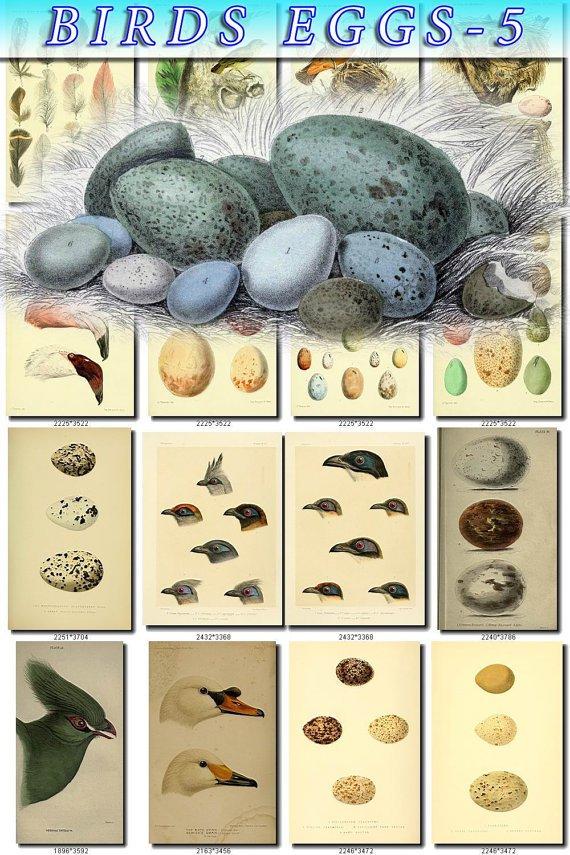 BIRDS EGGS-5 103 nests heads vintage print