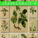 LEAVES GRASS-4 246 vintage print