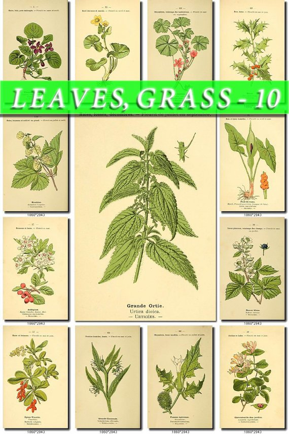 LEAVES GRASS-10 244 vintage print