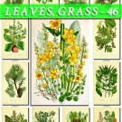 LEAVES GRASS-46 231 vintage print