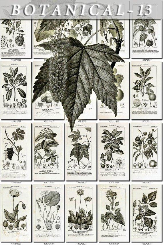 BOTANICAL-13-bw 333 black-, -white vintage print