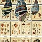 SHELLS-31 154 vintage print