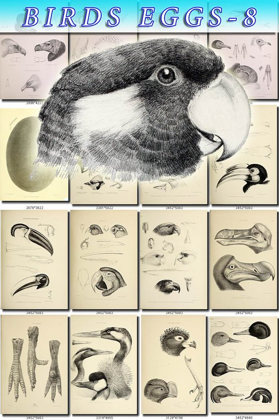 BIRDS EGGS-8-bw 168 black-, -white nests heads vintage print