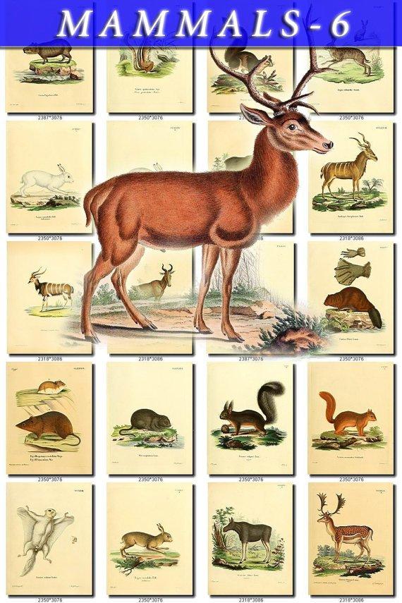MAMMALS-6 226 vintage print