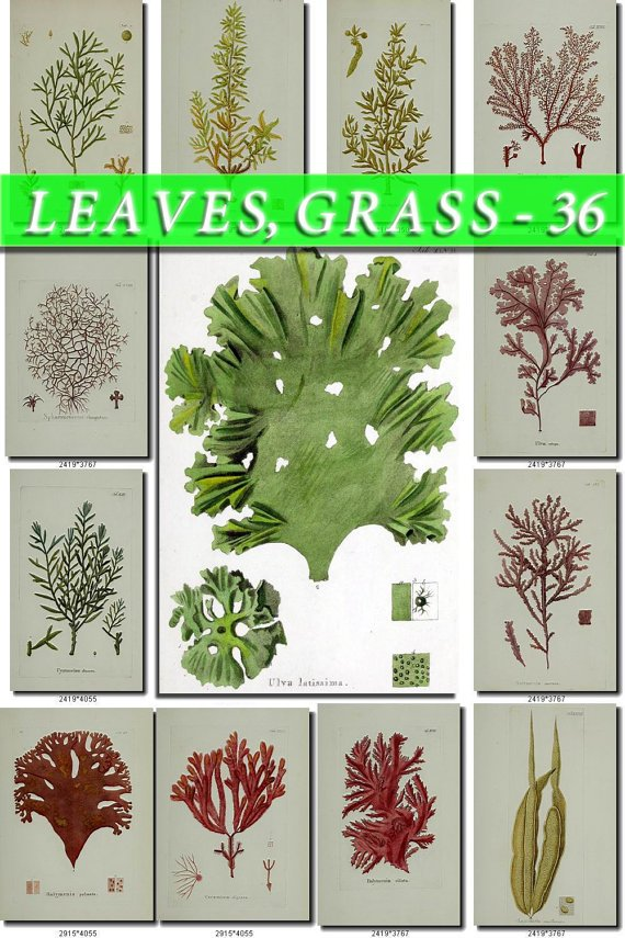 LEAVES GRASS-36 110 vintage print