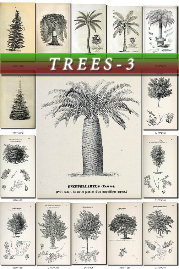 TREES-3-bw 180 vintage print