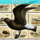 BIRDS-66 107 vintage print