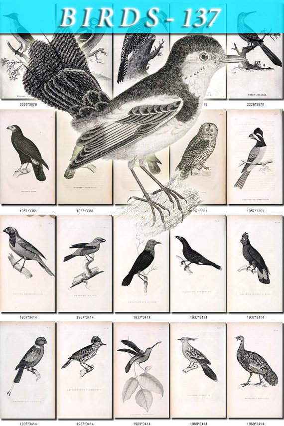 BIRDS-137-bw 244 black-, -white vintage print