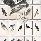 BIRDS-137-bw 244 black-, -white vintage print