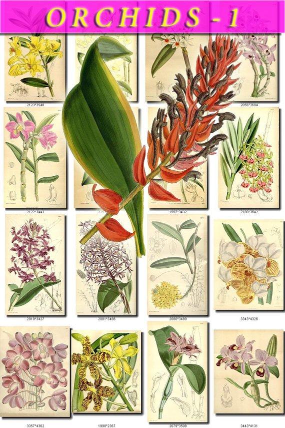 ORCHIDS-1 flowers 199 vintage print