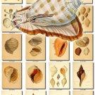 SHELLS-51 266 vintage print