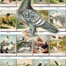 PIGEONS-1 birds 81 pictures vintage print