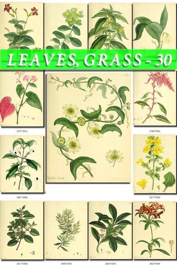 LEAVES GRASS-30 209 vintage print