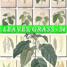LEAVES GRASS-54 240 vintage print