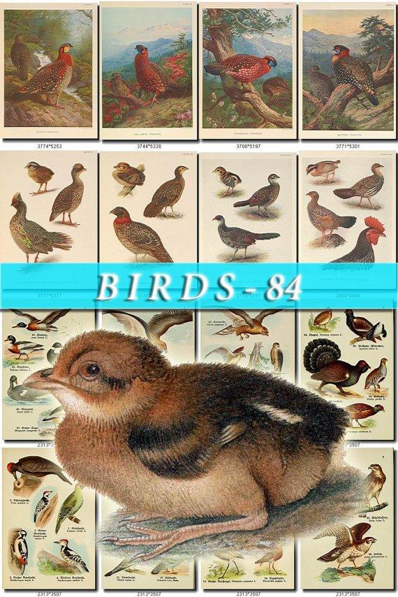 BIRDS-84 72 vintage print