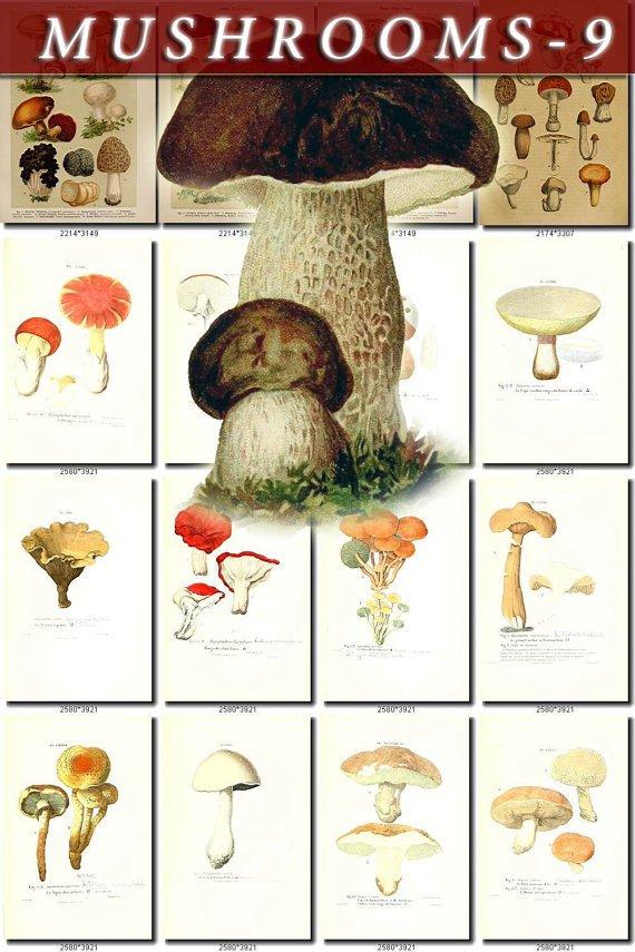 MUSHROOMS-9 232 vintage print