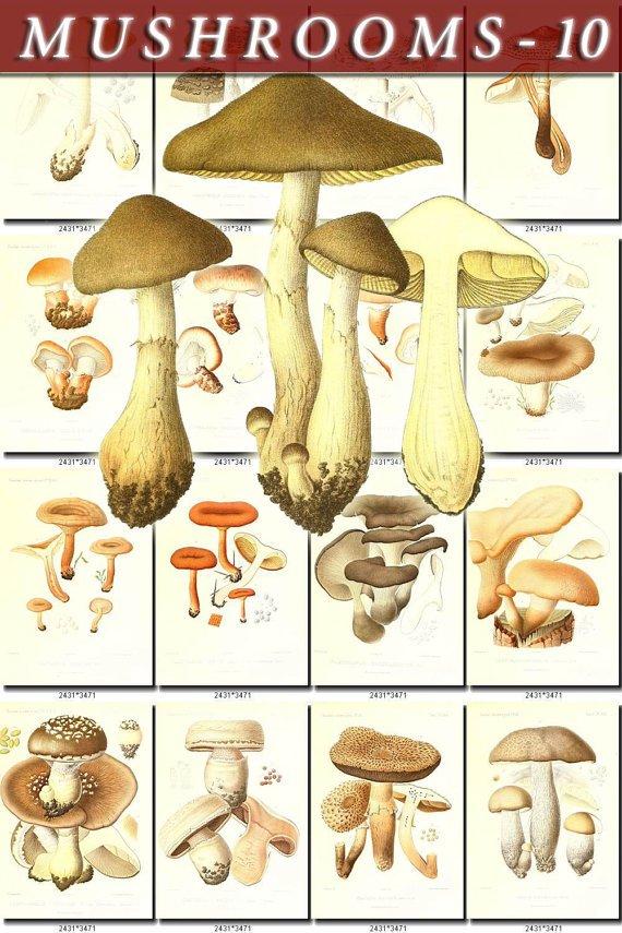 MUSHROOMS-10 199 vintage print