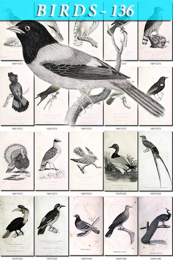 BIRDS-136-bw 216 black-, -white vintage print