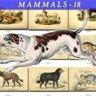 MAMMALS-18 146 vintage print