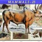 MAMMALS-23 56 vintage print