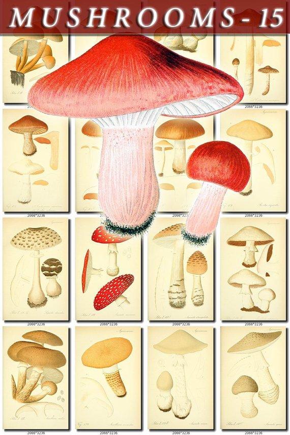 MUSHROOMS-15 284 vintage print