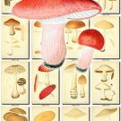 MUSHROOMS-15 284 vintage print