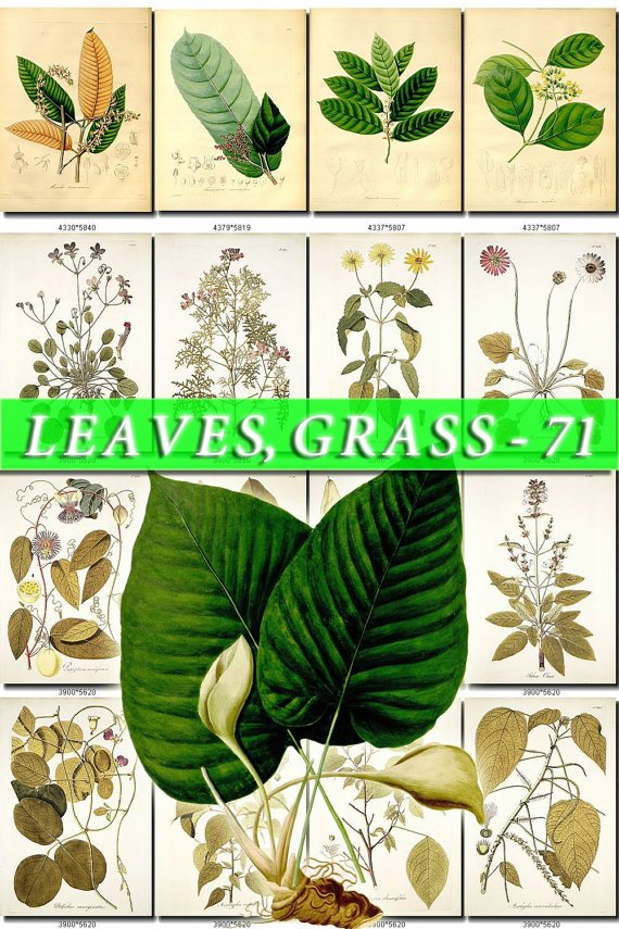 LEAVES GRASS-71 278 vintage print