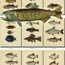 FISHES-25 84 vintage print