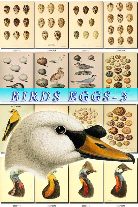 BIRDS EGGS-3 210 nests heads vintage print