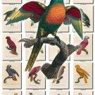 PARROTS-4 145 vintage print