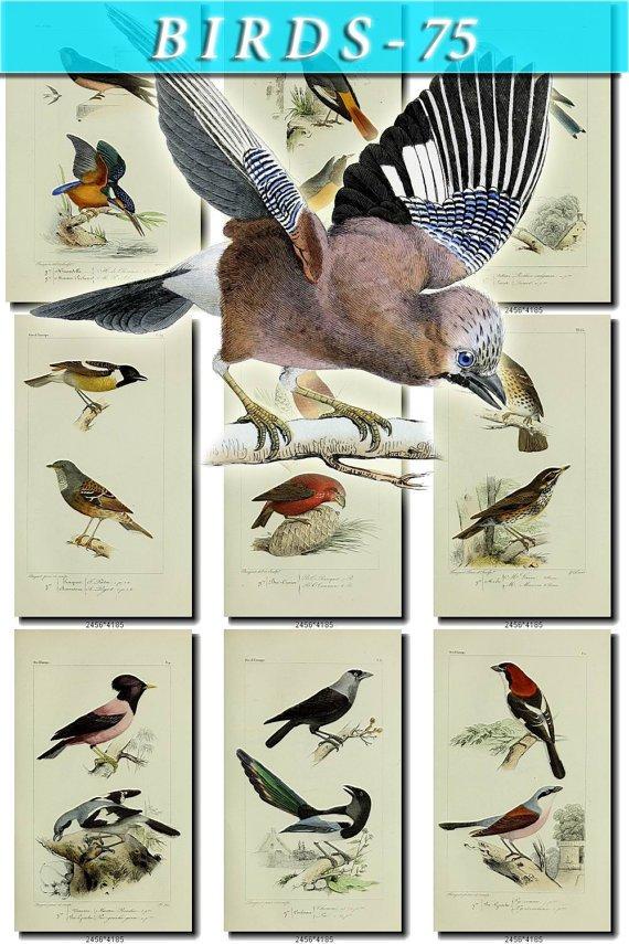 BIRDS-75 80 vintage print