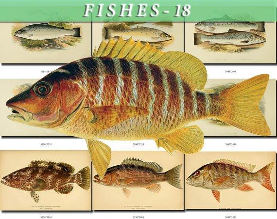 FISHES-18-b1 133 vintage print