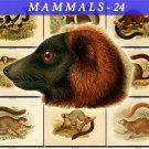 MAMMALS-24 57 vintage print