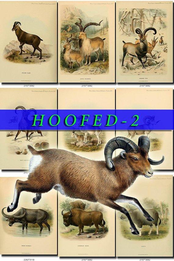 HOOFED UNGULATES-2 59 vintage print