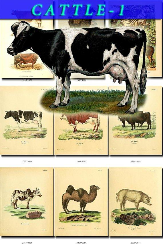 HOOFED CATTLE FARM-1 animals 52 vintage print