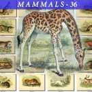 MAMMALS-36 105 vintage print