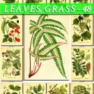 LEAVES GRASS-48 171 vintage print