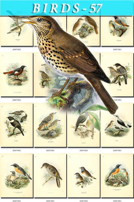 BIRDS-57 95 vintage print