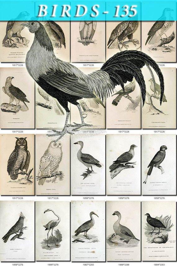 BIRDS-135-bw 210 black-, -white vintage print