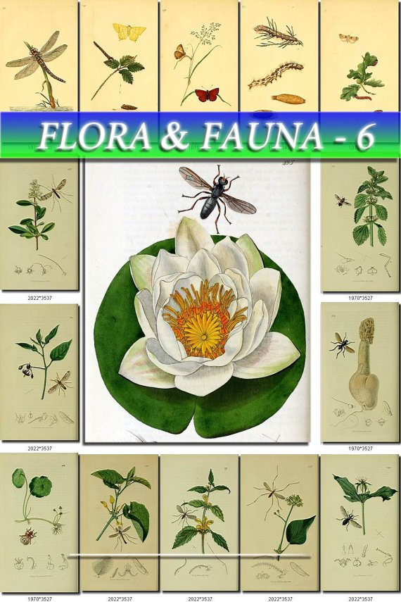 FLORA ,  FAUNA-6 217 vintage print
