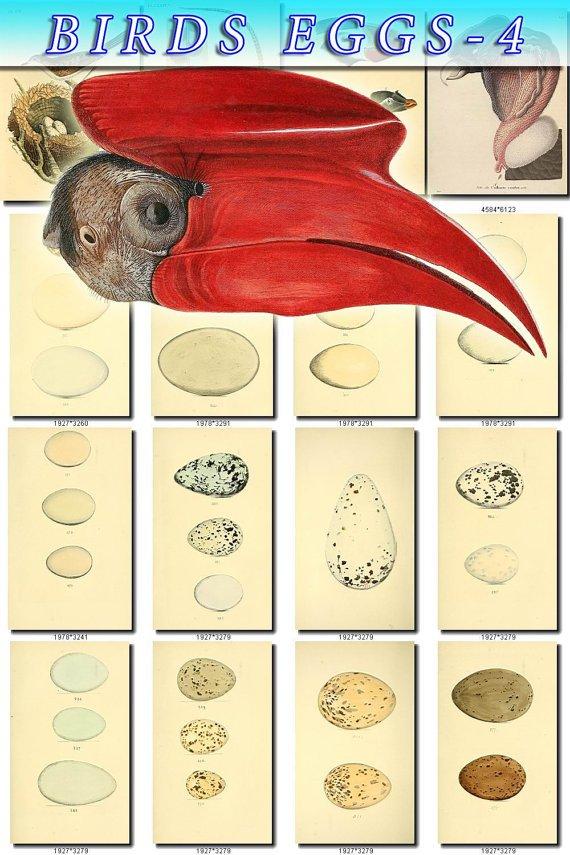 BIRDS EGGS-4 166 nests heads vintage print