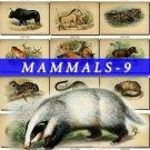 MAMMALS-9 242 vintage print