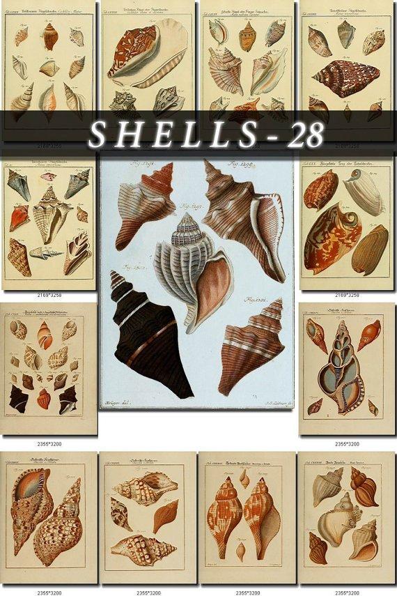 SHELLS-28 170 vintage print