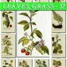 LEAVES GRASS-37 216 vintage print