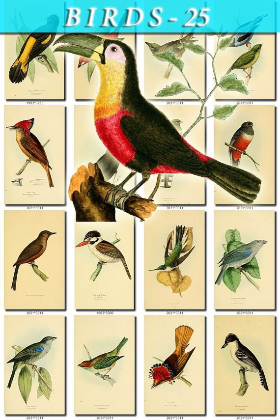 BIRDS-25 229 vintage print