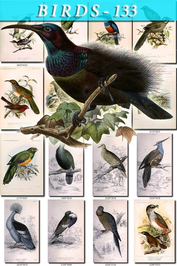 BIRDS-133 54 Mantou Firebird Fan Shaker Dove Wild Mard Pochard vintage print