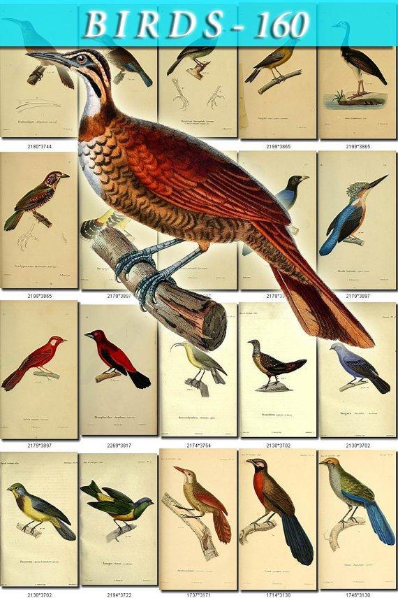 BIRDS-160 140 vintage print