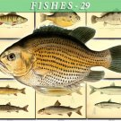 FISHES-29 97 vintage print