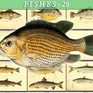 FISHES-29 97 vintage print